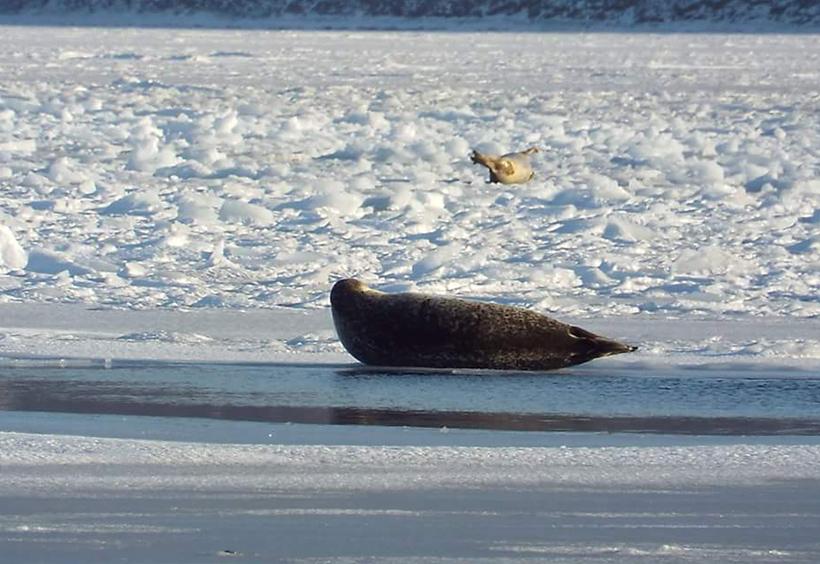 金角湾no氷の上に横たわるアザラシ
