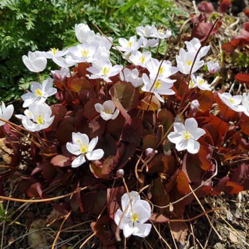 ダーチャに咲く春の花