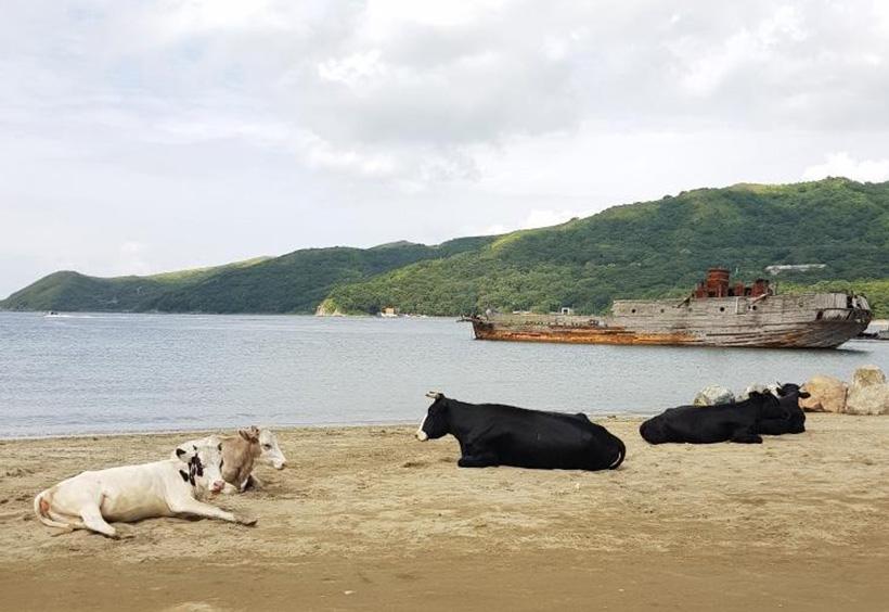 ビーチでのんびりする牛たち